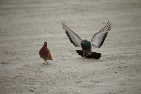 Birds on the beach, The may be friends, or love birds. The bird with it's wings spread actively pursuing the brownish-red bird.