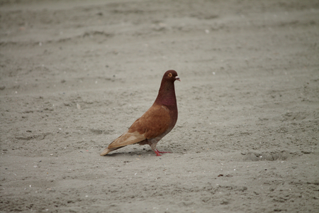 A bird searching the beach. It may be seeking companionship,and food. It is located on the beach, east coast.