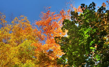 a colourful mix of trees against blue sky during autumn