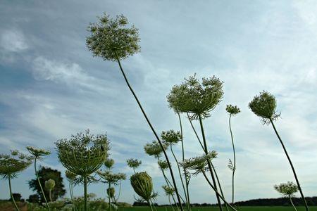 Queen Annes lace against blue sky