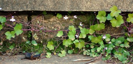 Ivy growing along cement stairs