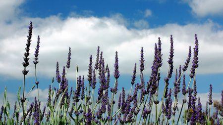 lavendar: Lavendar Field