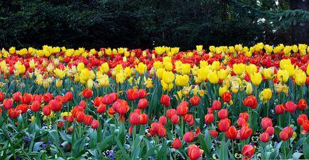 a colourful Tulip garden in the spring