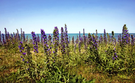 a field of purple wildflowers by the lake