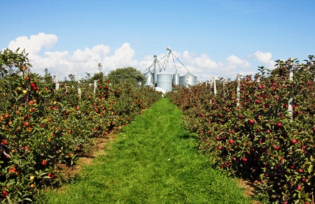 an apple orchard in Southwestern Ontario