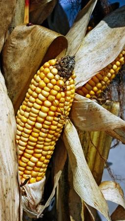 an ear of corn on a stalk
