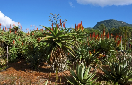 Aloes in the Wollongong Botanical Gardens