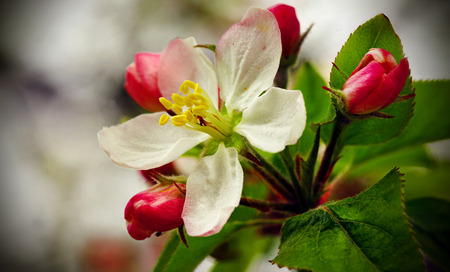 A close-up of an apple blossom