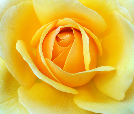 a close-up of a yellow rose Stock Photo
