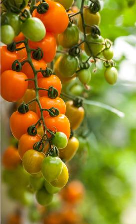 persimmon tree: Persimmon tree Stock Photo