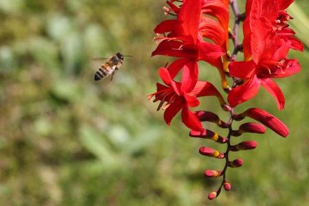 Orange garden plant with bee taking pollen montbretia