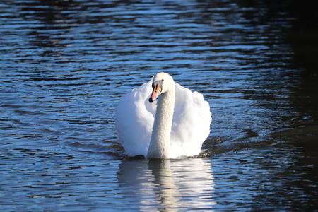 elegant swan double image