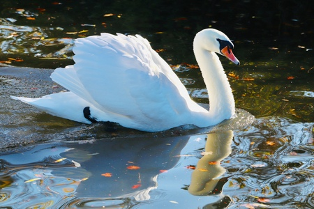 elegant swan double image reflecting