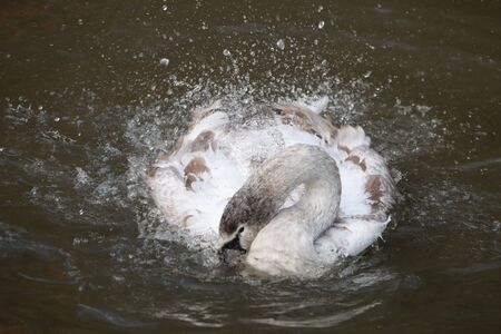 large adult swan spalhing the water with spred out wing Stock Photo