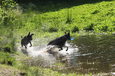 dogs playing: dogs playing