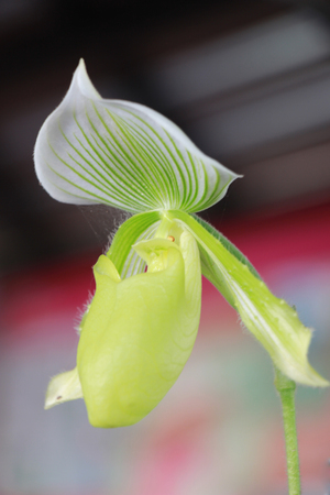 lady slipper: Close up lady slipper flower