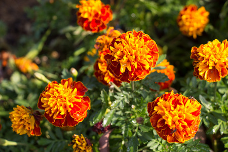 marigolds: Orange marigolds blooming Stock Photo