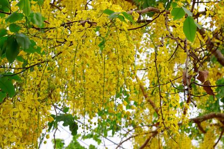 tropica: beautiful Flowers of Golden Shower