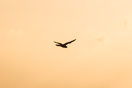 Silhouette Of Flying Crow in The Evening