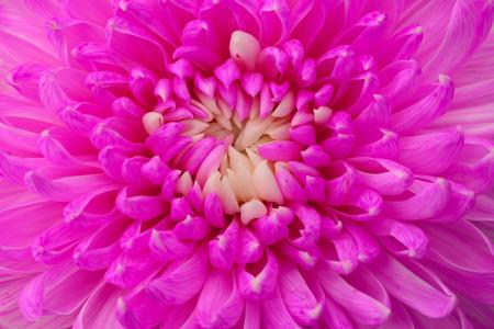 close up of magenta chrysanthemum photo