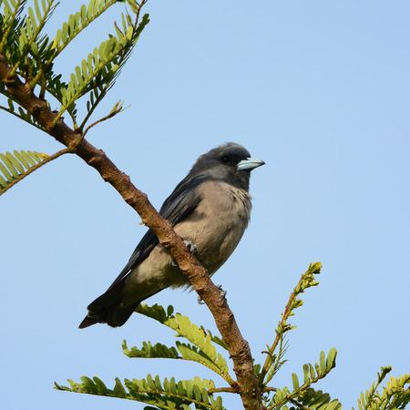 ashy:  Ashy Woodswallow