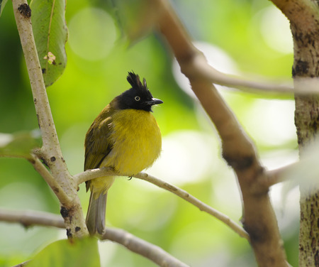 Black-crested Bulbul bird in nature catch on the branch photo