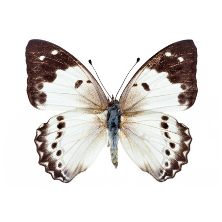 Beautiful white Butterfly isolated on white background photo