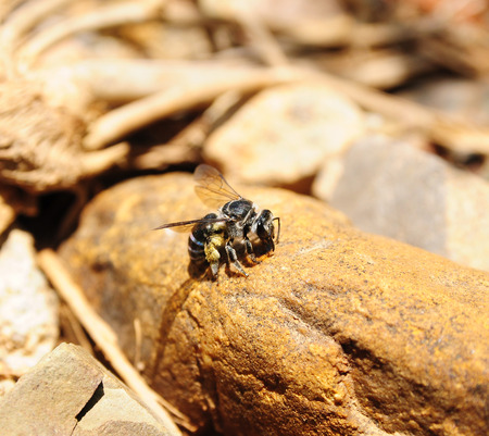 entomological: Bee on the stone