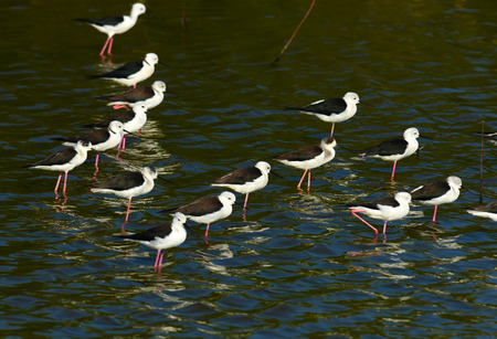 black winged stilt: black winged stilt  Himantopus himantopus , in nature, in Thailand