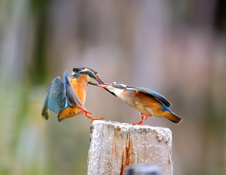 alcedo: Two Common Kingfisher quarrel on a branch   Alcedo atthis  Stock Photo