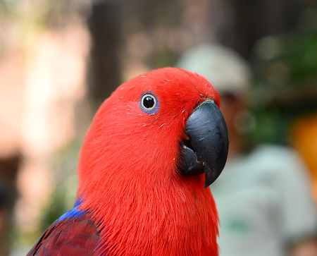 eclectus roratus: Beautiful Eclectus parrot Focus on the details Stock Photo