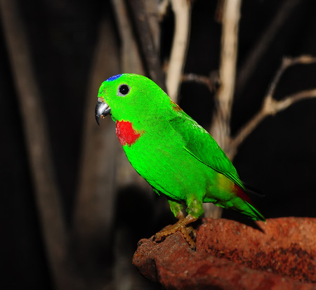 Green Colorful Bird  Blue-crowned Hanging Parrot  photo