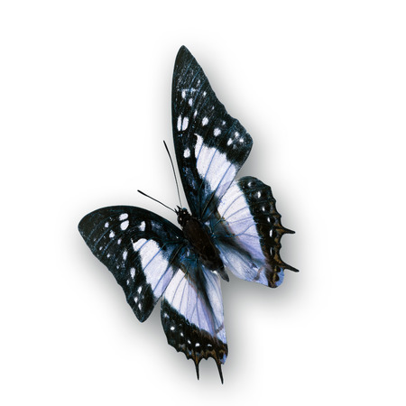 Beautiful black and white Butterfly photo