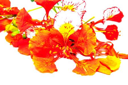 flamboyant: Flam-boyant bloem op een witte achtergrond