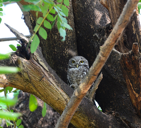 Spotted Owlet  Athene brama  on a branch photo