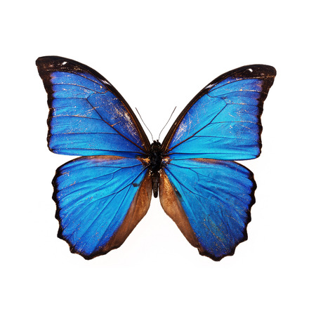 butterfly wings: Beautiful blue butterfly isolated on white background Stock Photo