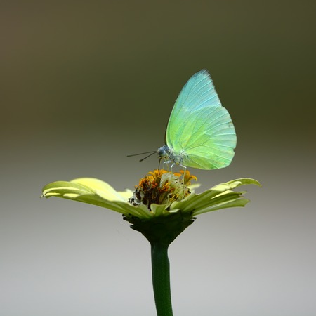 butterfly on flower: Beautiful white Butterfly on white flower Stock Photo