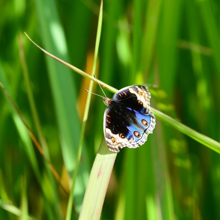 butterfly flying: Blue Butterfly flying Stock Photo