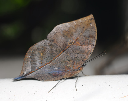 disguise: Master of disguise in the forest is a Special butterfly