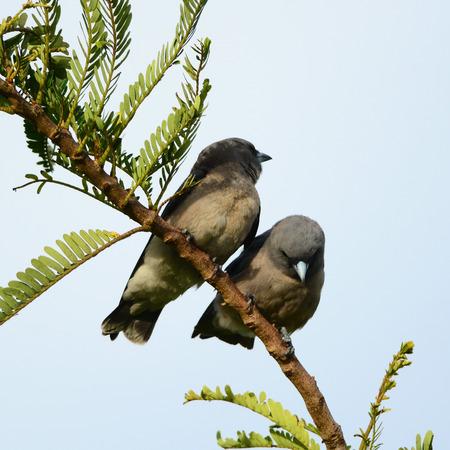 ashy: Couple Bird (Ashy Woodswallow)