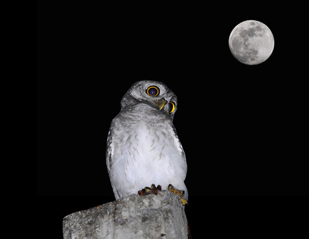 spotted owlet Bird and moon of Thailand photo