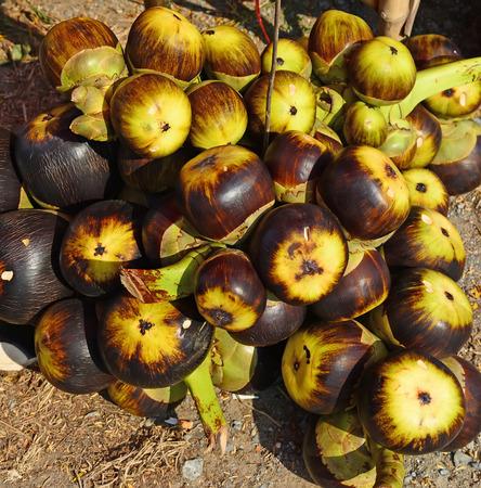 palmyra palm: Asian Palmyra palm or Toddy palm