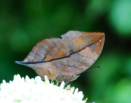 inachis: Master of disguise in the forest is a Special butterfly(Kallima inachis formosana) look like a Withered leaf,in nature, in Thailand