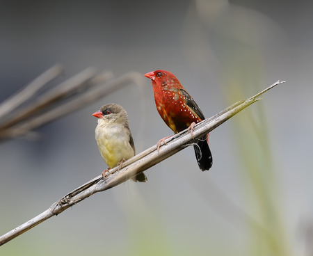 passerine: Couple Red Avadavat (Amandava amandava) on a branch, in nature, in Thailand