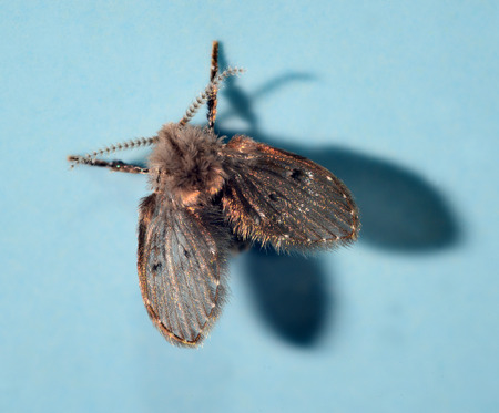 psy: Moth fly or drain fly (Clogmia albipunctata  O: Diptera, F: Psy