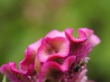 cockscomb: High resolution of Cockscomb flower