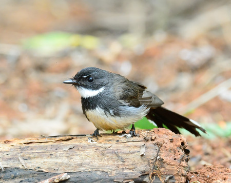 fantail: Pied Fantail on ground Stock Photo