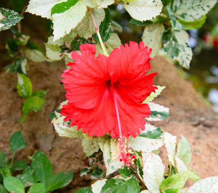 flori culture: Blossoming red flower of treelike Hibiscus with two petals on pestle, stamens and leaves
