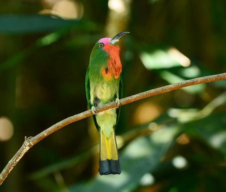 prin: Abejaruco de barba roja en la rama con la comida en la boca para alimentar a sus polluelos en el nido agujero, nyctyornis amictus, pájaro