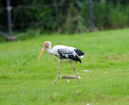 animal limb: Painted StorkPainted Stork